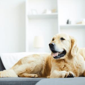 Golden-retriever-dog-laying-down